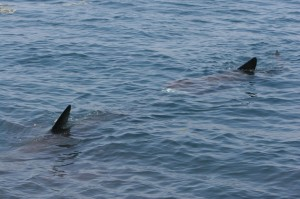 Basking sharks off West Cork, Ireland