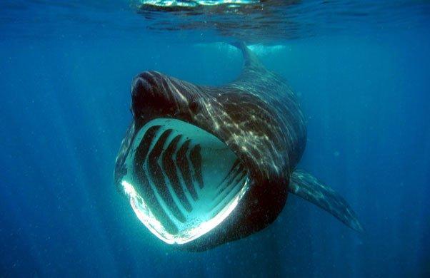 how to watch basking sharks in ireland irleand s wildlife