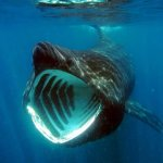 How to watch Basking Sharks