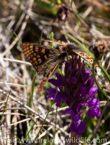 Marsh fritillary pair on orchid