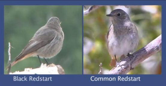Redstart Identification video from the BTO