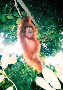 Young orang utan in Sumatra