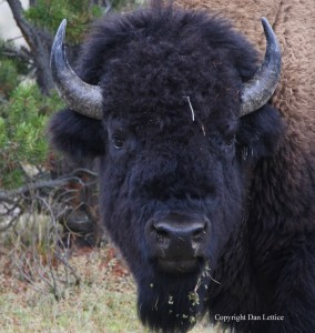 A close up of a biron in Yellowstone National Park