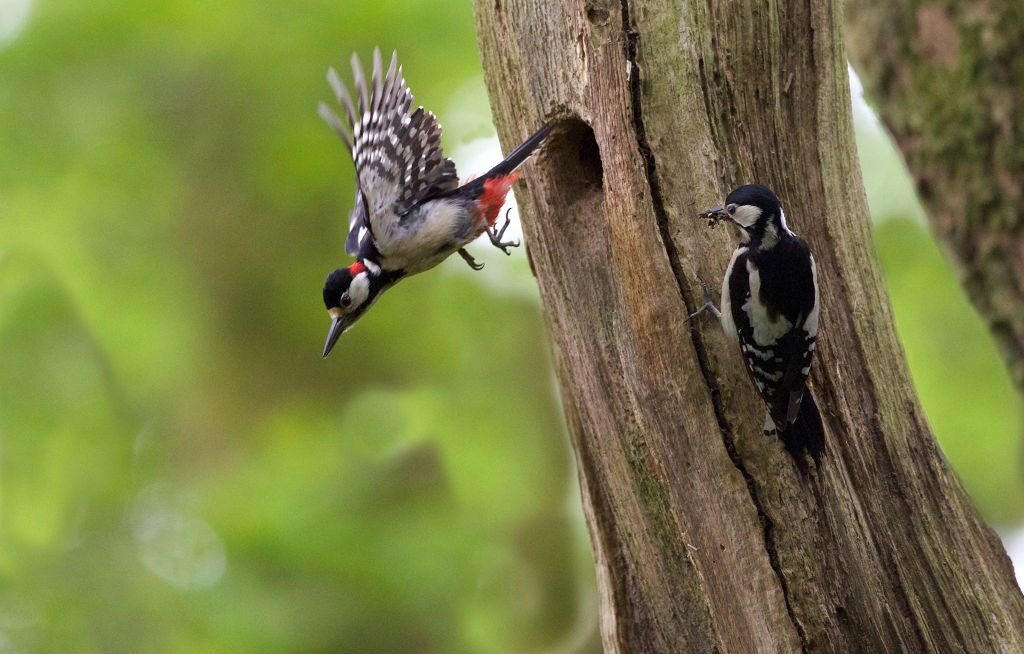 The return of Great Spotted Woodpeckers