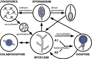 Phytophthora_life_cycle