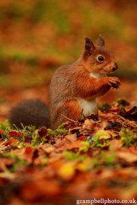 Red squirrel in autumn