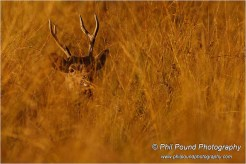 Stag in hiding, Knockreer