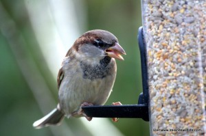 House sparrow enjoying the Apollo Feeder