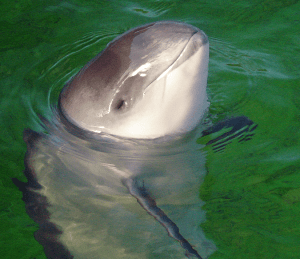 Harbour porpoise close-up