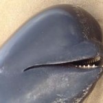 Dead Pilot Whale