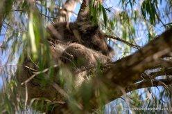 Sleepy Koala Mark IV
