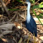 The beautifully marked pied heron
