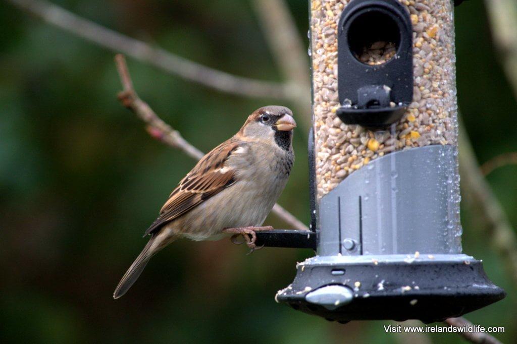 9 Top Tips For Feeding Your Garden Birds Ireland S Wildlife
