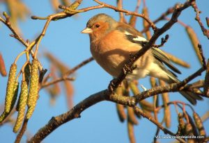 An adult male chaffinch in winter