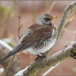 Ireland's Wildlife: Fieldfare (Turdus pilaris)