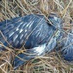 """Hen Harrier blog-star """"Heather"""" shot dead in Co. Kerry"""