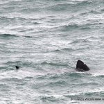 Ireland's first basking sharks of 2015 spotted off West Cork