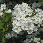 Hawthorn (Crataegus monygna) blossom in spring