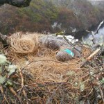 White-tailed eagle found poisoned at Connemara nest site