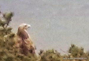 White-tailed eagle, West Cork, Ireland
