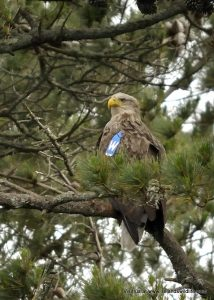 White-tailed eagle, Glengarriff, Co. Cork