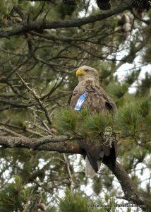 White-tailed eagle, Glengarriff, Co. Cork
