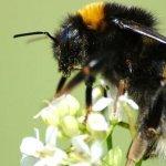 Buff-tailed_bumblebee,_Bombus_terrestris
