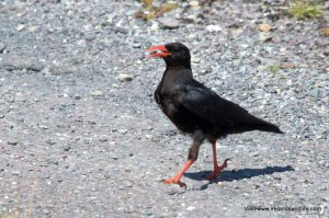 Wildlife walk west cork choughs