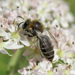 All Ireland Pollinator Plan good news for bees…. and for people