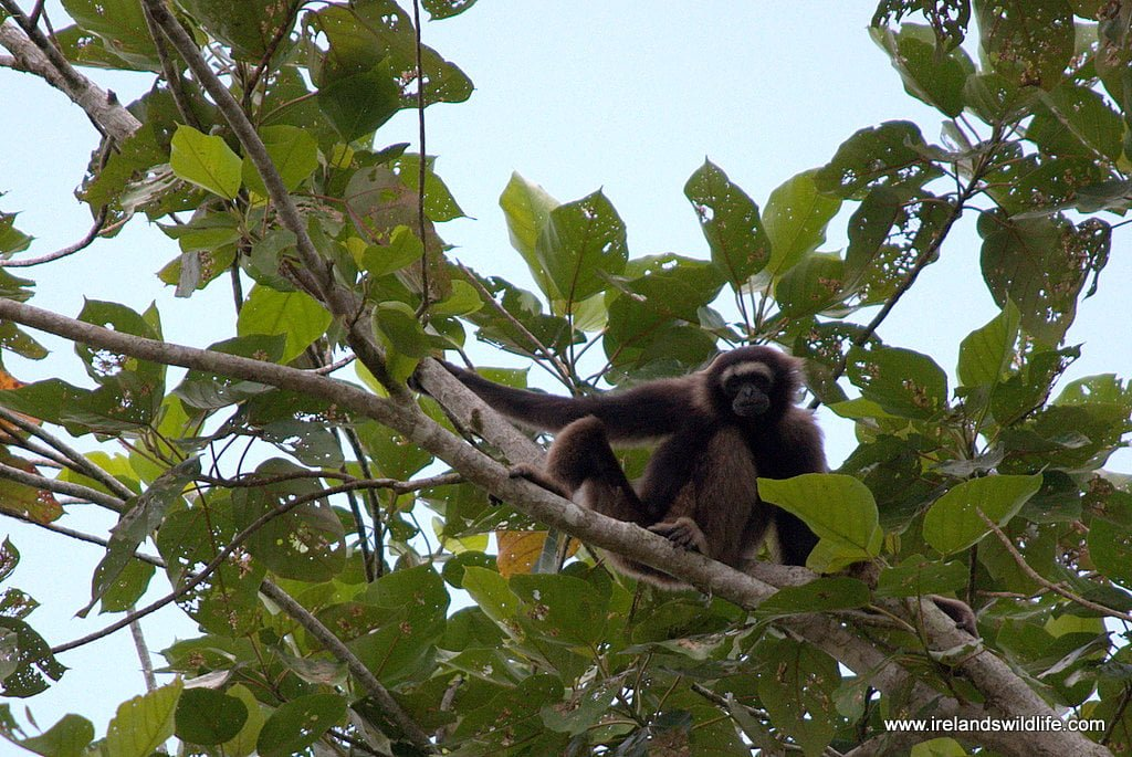 Borneo gibbon, Kinabatangan Jungle Camp