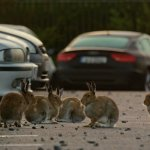 Urban Wildlife in Ireland