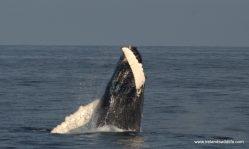 Breaching Humpback Whale, West Cork