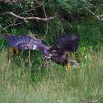 White-tailed eagle chicks fledge successfully in 3 counties