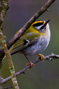 firecrest-by-rod-wilson-via-iw-flickr