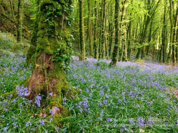 Bluebells, West Cork