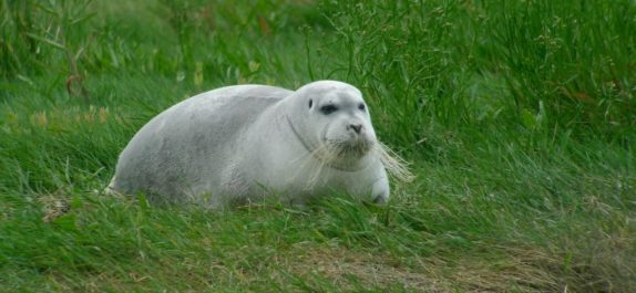 Bearded Seal in West Cork, Ireland
