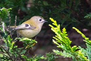 Goldcrest High ISO