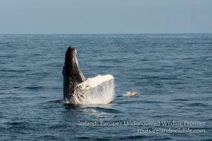 Breaching humpback whale Ireland
