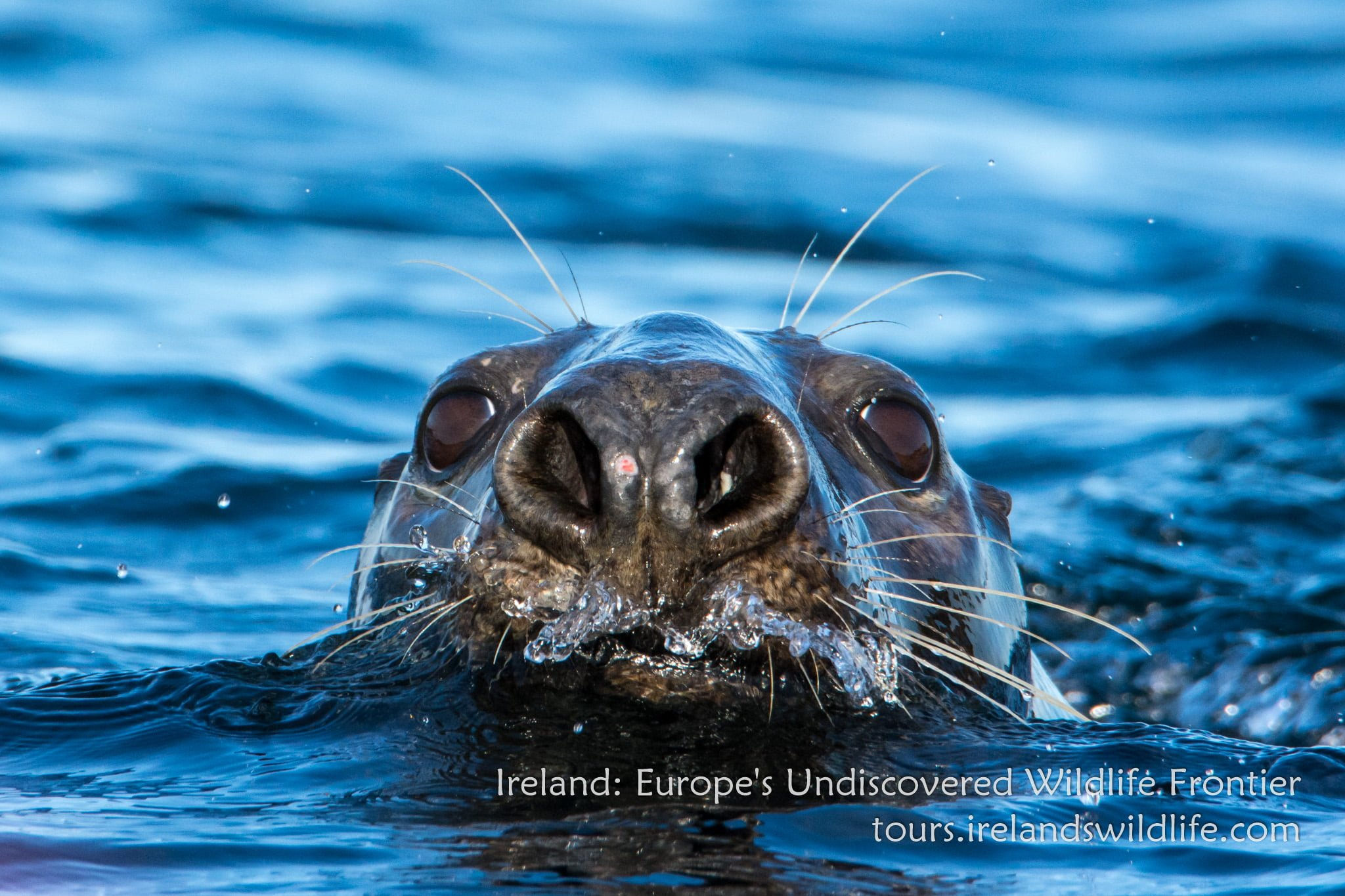 Grey seal wildlife holiday Ireland