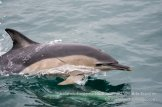 Common dolphins are regularly seen on wildlife holidays in Ireland