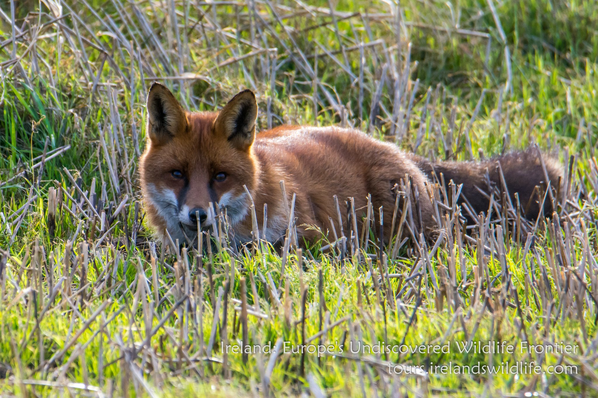 A red fox checks out a group of wildlife watchers on Ireland's south coast.