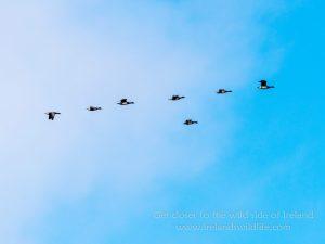 Brent geese in flight -- Panasonic Lumux G9