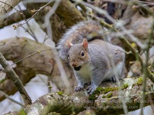 Grey Squirrel, Panasonic G9, Leica DG 200mm + 1.4x Teleconverter