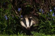 Badger & Bluebells by Edno Delaney