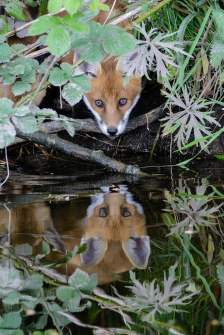 Fox Cub Reflects by Chris Howes -- winner of the Ireland's Wildlife / Vanguard UK Seeing is Believing Wildlife Photography Competition