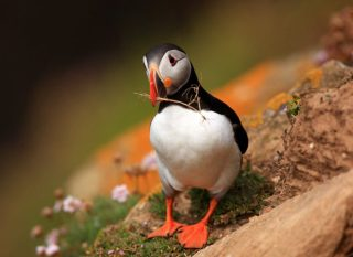 Nest Building, Puffin by Jim McSweeney