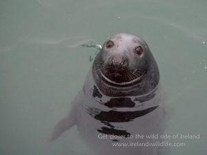 Grey seal, low light