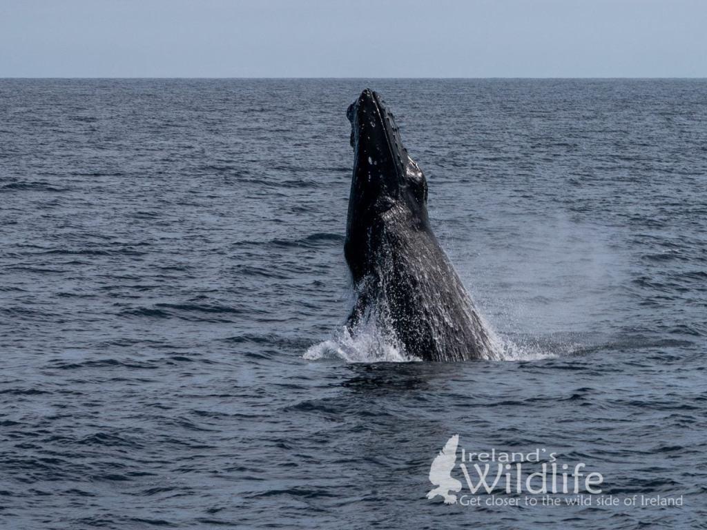 Breaching Humpback Whale, Wildlife Tours Ireland