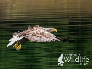 Wildlife Holiday UK alternative: White-tailed Eagle