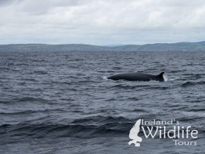 British Wildlife Holiday Alternative: Fin Whale of Ireland's Wild South Coast